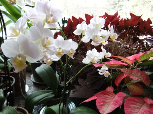 orchids with oxalis