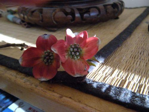 miniature dwarf red dogwood