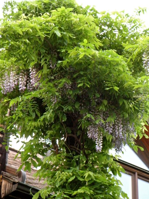 lavender wisteria by the barn