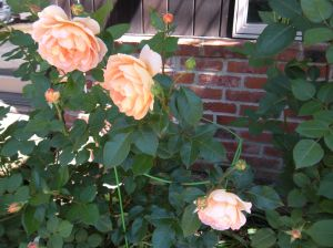 apricot roses by the barn