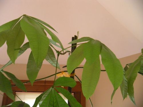 . . . money tree with tiny sproutlet on top