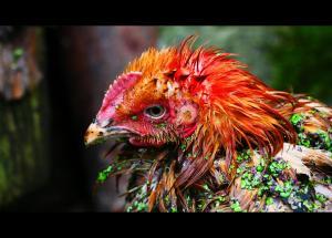 """""""madder than a wet hen!"""" (photo by M. Steverson)"""