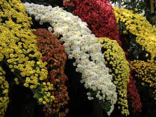 mums closeup sprays