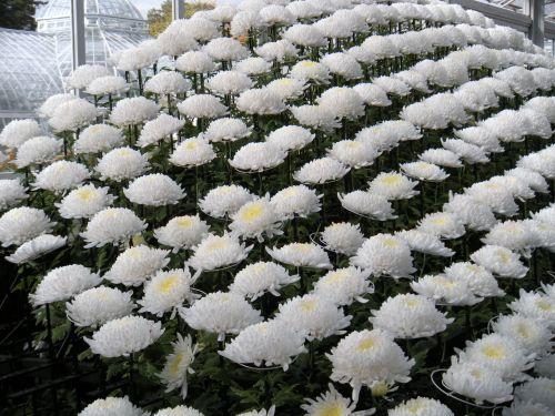 mums white tableau closeup