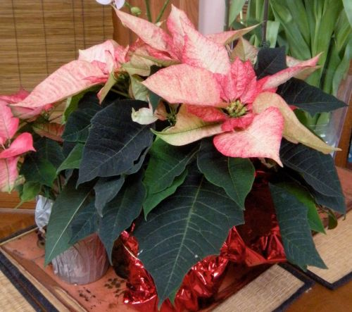 poinsettia plant ~ christmas 2012