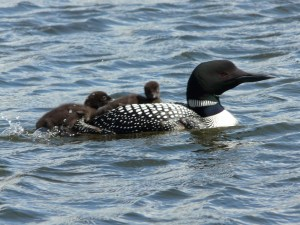 loon and babies bp