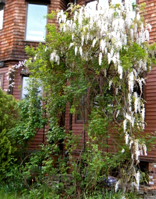 white wisteria and pale pink clematis growing on the rose arbor