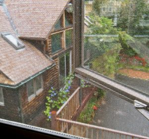 morning glories blooming in late Fall from our kitchen window. . .
