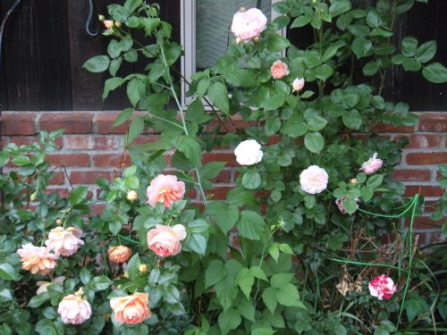 everything's coming up roses! (or at least a few might be . . .)