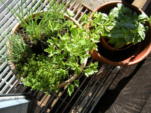 parsley, (basil), rosemary and thyme by the back door. . .
