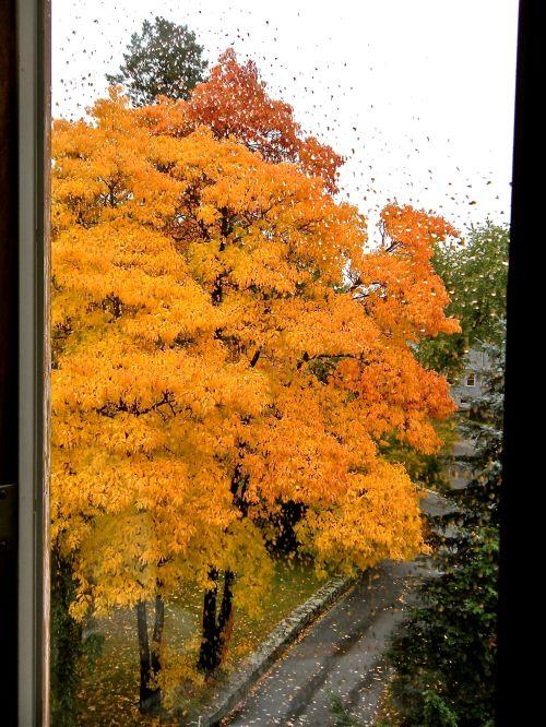 brilliant yellow Sassafras trees from our rainy bedroom window . . .