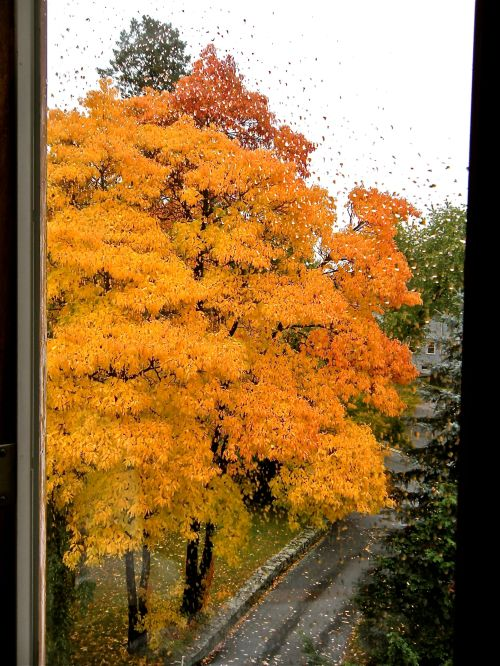 brilliant yellow Sassafras trees from our rainy bedroom window . . .