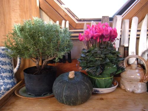 rosemary, cyclamen and a kabocha squash on the kitchen counter . . .