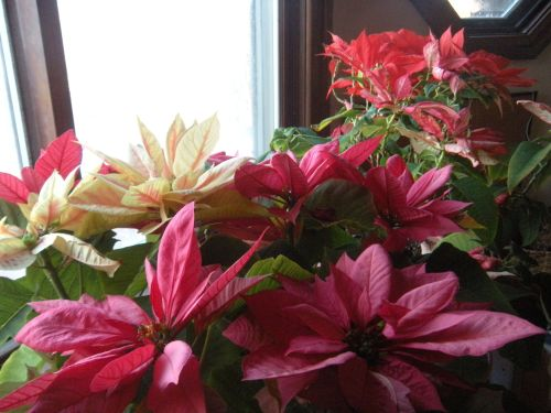 poinsettia plants still doing well on the winter windowsill. . .