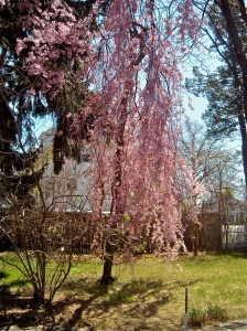 our weeping cherry tree flowers every year around May 1st. . .
