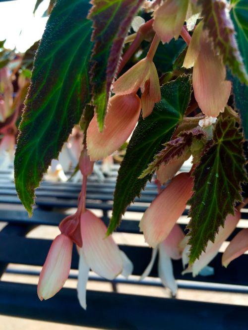 hanging begonia 1