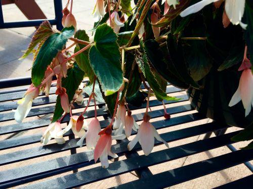hanging begonia 2