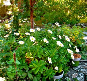 montauk daisies first