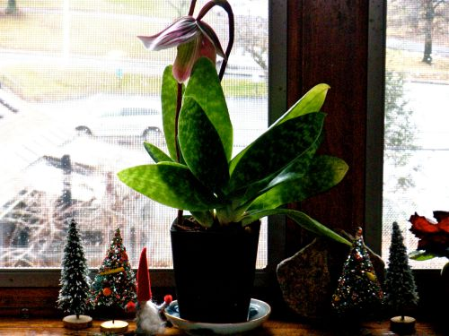 lady slipper orchid Dec. 23