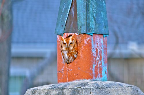 a second visit by our little screech owl