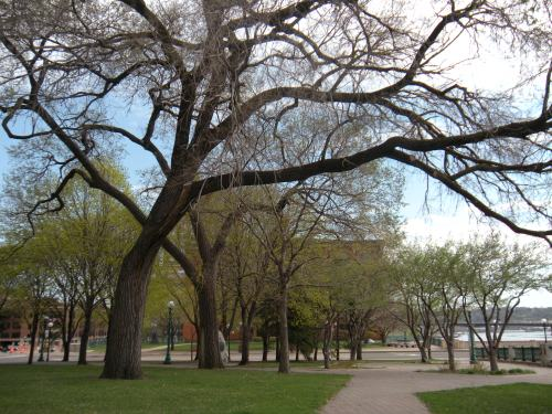 majestic elm trees by the Mississippi River