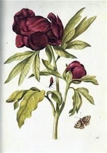 Marie Sibylla Merian - botanical engraving (c. 1705)