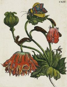 botanical engraving by Maria Sibylla Merian (1711) . . .