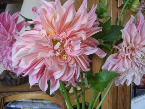 a FIESTA of dahlias from Fivefork Farms this a.m. . .