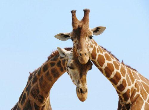 giraffe_couple_in_love_600