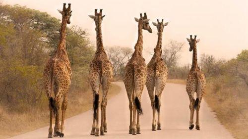 giraffes-tall_4fea8e5b9ff831a3